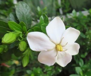 gardenia single.ma14.162