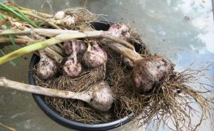 garlic harvest.may28 (2)