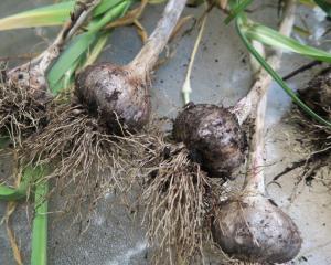 garlic harvest.may28 (4)