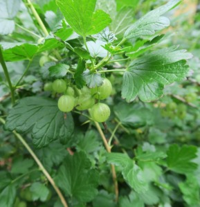 gooseberries. trim garden may161303