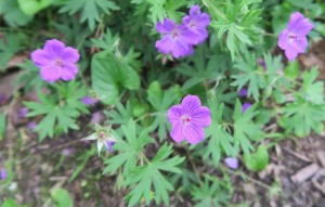hardy geranium may19 (2)