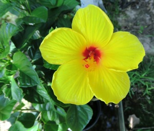 hibiscus yellow.aug16.15.2