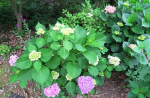 hydrangeas may19 (2)