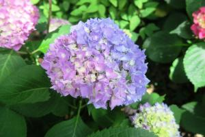 hydrangeas may28 (5)