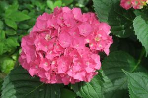 hydrangeas may28 (6)