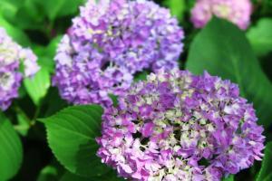 hydrangeas may28 (7)