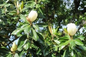 little gem magnolia may14.162