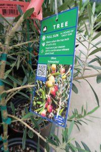 olive tree may16 (2)