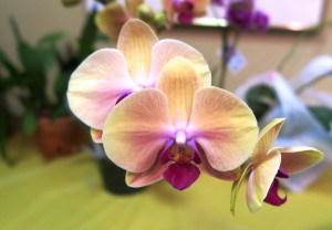 orchids.may12 (2)