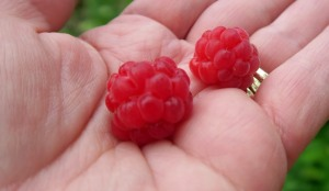 raspberry first harvest.may19 (1)