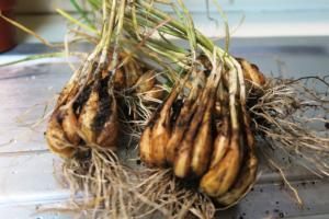 shallot harvest may28 (1)