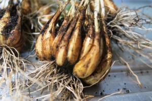 shallot harvest may28 (2)