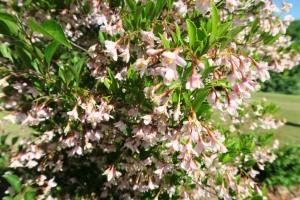 styrax pink chimes.may162
