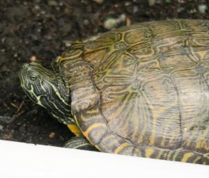 turtle may162