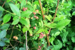 blueberry pink lemonade.june4.161