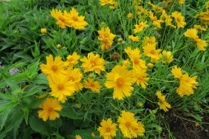 coreopsis may9.15