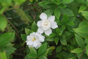 gardenia june 4.16