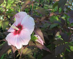 hardy hibiscus jun29.16