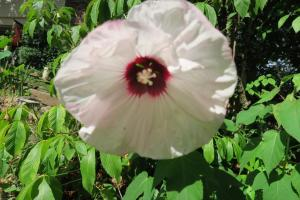hardy hibiscus jun30 (2)