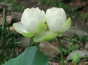 lotus june19.161