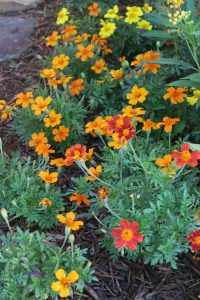 marigolds single. june16 (2)