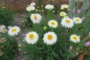 shasta daisies jun16 (1)