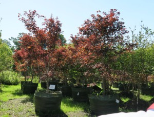 trees container nursery.river valley.jun161