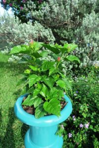 tropical hibiscus pot.june16