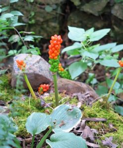arum berries july16