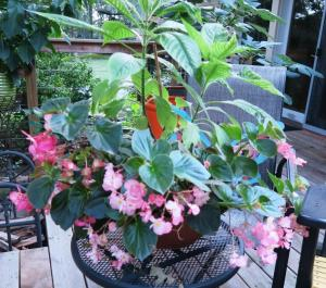 begonia and tropical july201.6
