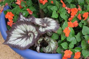 begonia hybrid.july16