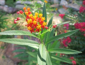 butterfly weed tropical.aug8.15.