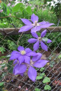 clematis july16
