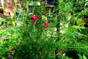 cypress vine july16.