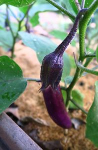 eggplant july5.162