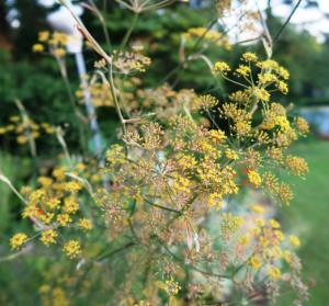 fennel blooms july5.162