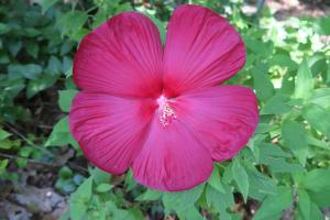 hardy hibiscus july17 (2)