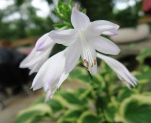 hosta blooms july4.161