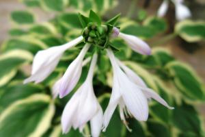 hosta blooms july4.162