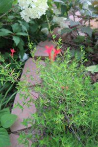 hummingbird trumpet plant - Zauschneria