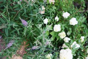 hydrangea paniculata july20 (2)