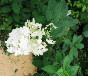 hydrangeas july16 (6)