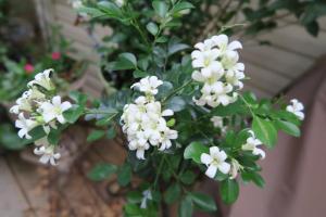 Jasmine scent Murraya paniculata1