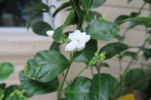 jasmines july4.162
