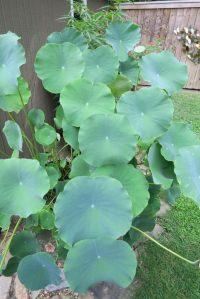 lotus july 16