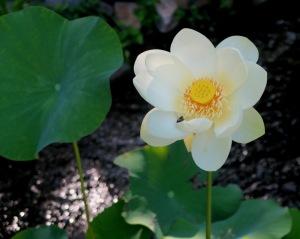 lotus july14 (1)