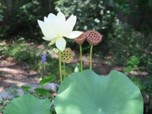 lotus.july17 (2)