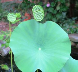 lotus july4.16