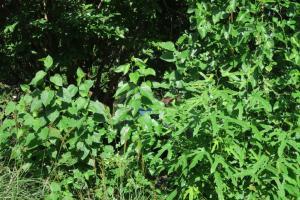 mulberry tree seedlings.july16