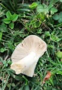 mushroom in lawn aug.16 (1)